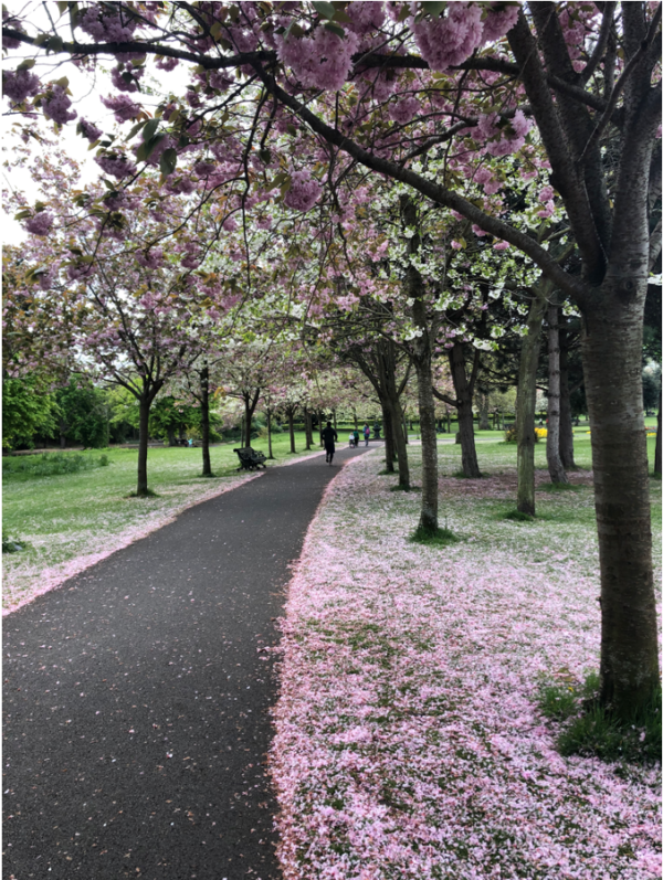 Photo in park with a path covered of cherry blossoms